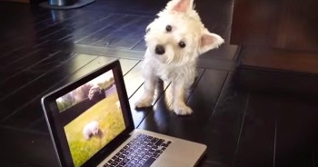 Adorable Westie Is Confused By Puppies On The Computer