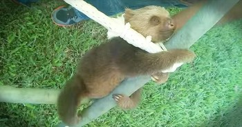 Adorable Baby Sloth Plays On Jungle Gym