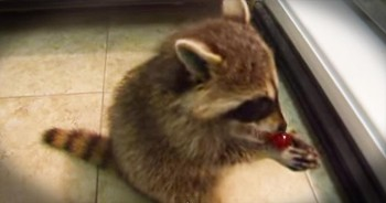 Baby Raccoon Sneaks Grapes From The Fridge