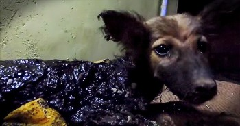 Dog Covered In Tar Is Rescued