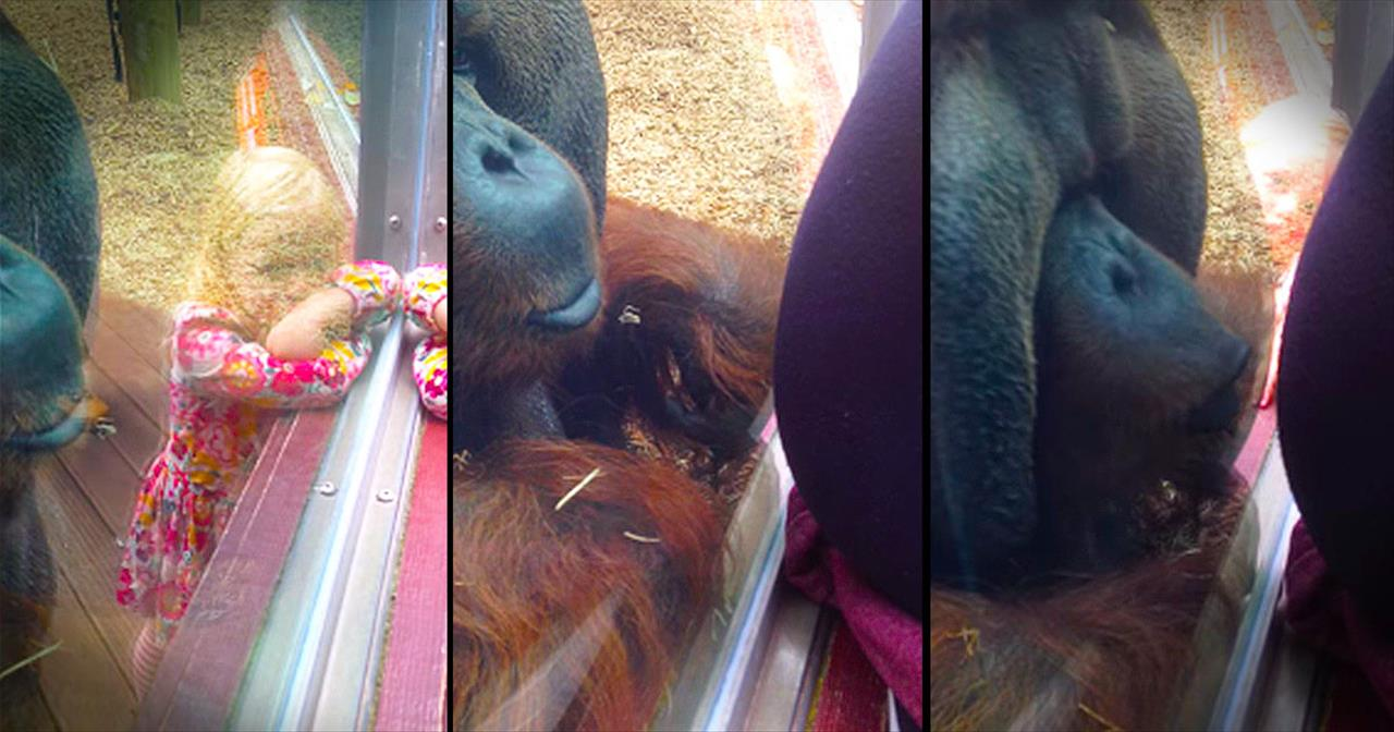 Orangutan Kisses Woman's Pregnant Belly At The Zoo