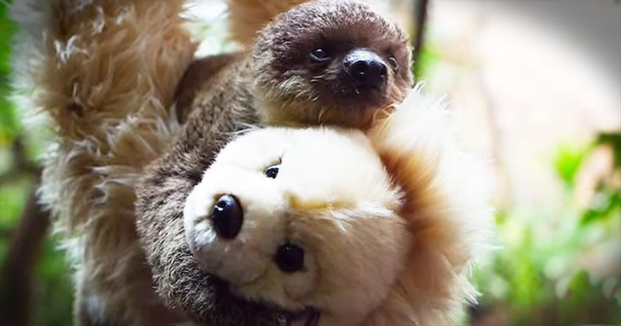 Precious Baby Sloth Cuddles With Teddy Bear