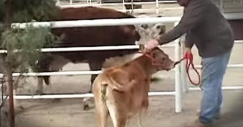Mama Cow Has Emotional Reunion With Calf