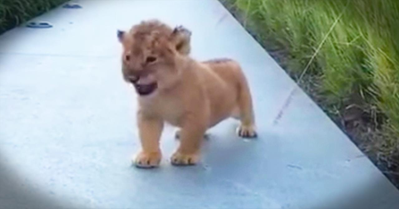 Future King Of The Jungle Learns To ROAR!