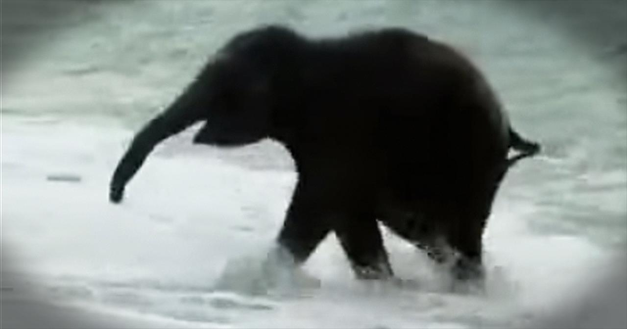 Baby Elephant Sees The Ocean For The First Time. AWW!!