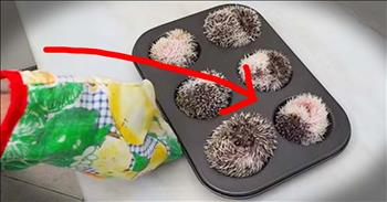 Adorable Hedgehogs Muffin Are TOO Cute!