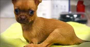 Tiny Puppy With No Front Legs Finds Forever Home
