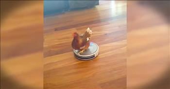 Chicken On A Roomba Will Make Your Day