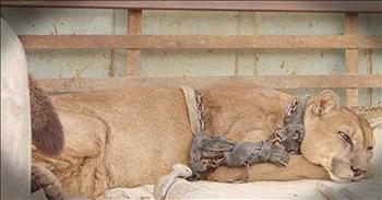 Chained Circus Mountain Lion Gets First Taste Of Freedom