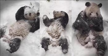 Giant Panda Has Adorable Reaction To Snow