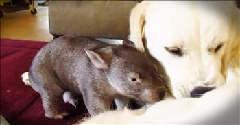 Baby Wombat Is Adorably Helpful Back Scratcher