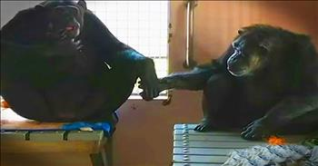 Chimp Finds Best Friend After 18 Years In Confinement