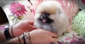 Fluffy Pomeranian Just Wants To Play