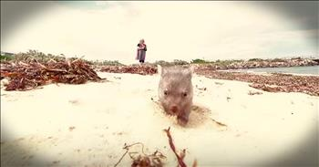 Orphaned Wombat Runs On Beach In Tasmania