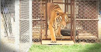 Circus Tiger Is Finally Freed From Horrific Cage