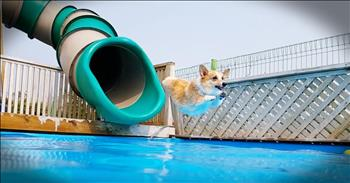 Corgis On A Waterslide Will Make Your Day