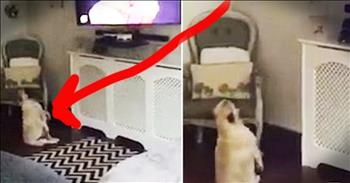 Pug's Adorable Dance Will Have You Grooving In Your Seat