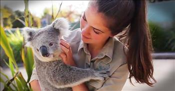 Friendly Koala Loves To Get Belly Rubs And Cuddles