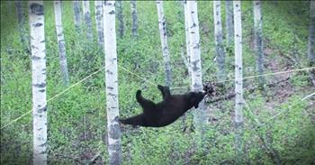 Clever Bear Climbs To Get A Snack And The Commentary Is Amazing