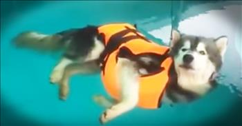 Husky Is Completely Relaxed In The Pool