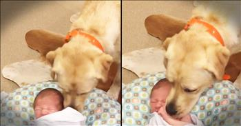 Labrador Retriever Helps Calm Infant Baby