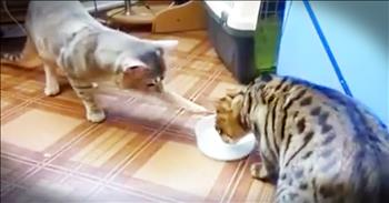 Funny Cats Do Not Want To Share The Milk Bowl