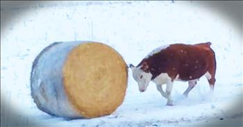 Cow Experiences Joy Playing With A Bale Of Hay