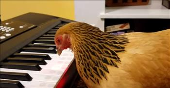 Talented Chicken Plays 'America The Beautiful' On The Piano