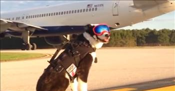 Brave Dog's Job Is To Protect Aircraft From Runway Hazards