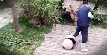 Adorable Tiny Panda Is Getting Alot Of Attention For Making His Caretaker's Job Difficult