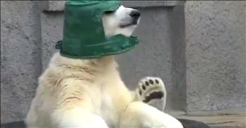 Polar Bear Cub Sports A Bucket As A Helmet And Won't Take It Off