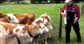 Cows Sure Do Love A Good Accordion Polka