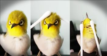 Tiny Bird Gets Adorable Q-Tip Massage
