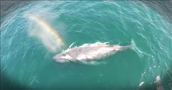Whale Blows A Perfect Rainbow While Surfacing