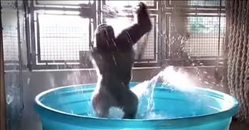 Gorilla Splashes Around In Kiddie Pool