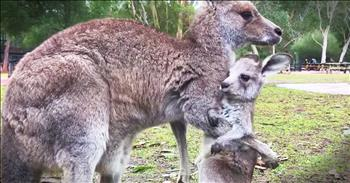Baby Kangaroo Takes First Hops