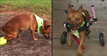 Dog Shot With A BB Gun Gets Wheelchair And Forever Home