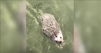 Adorable Hedgehog Goes For A Swim